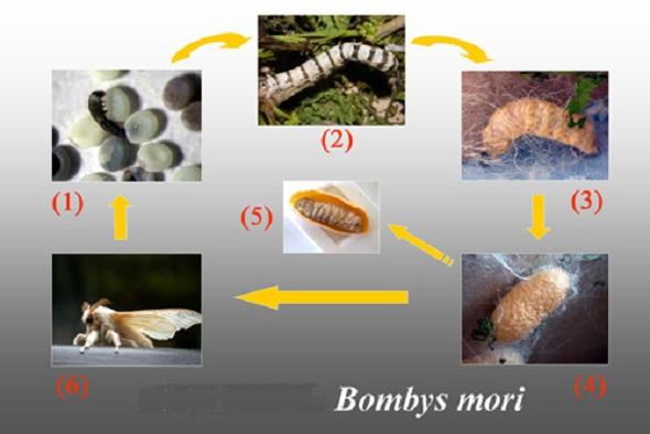 ouă de vierme cum arată dimensiunea parazit în simptomele și tratamentul ochilor