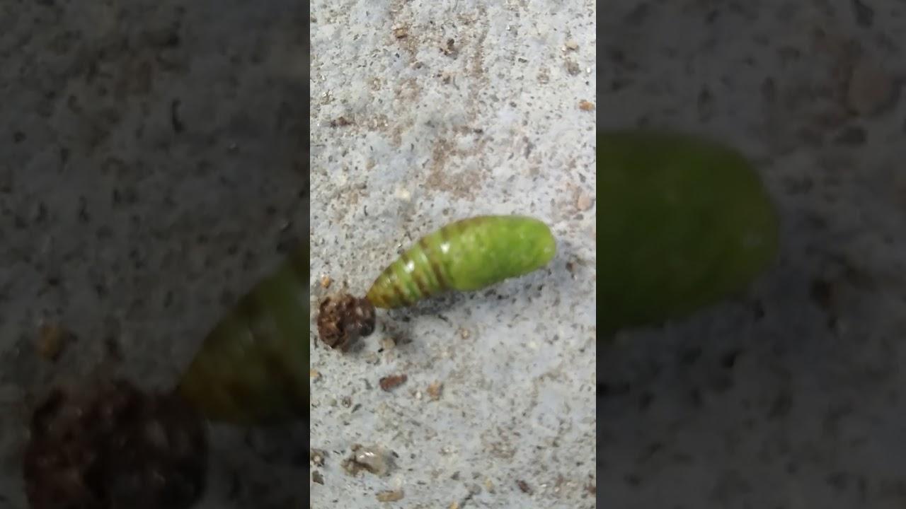 vierme la ardei tablete cu larve de vierme