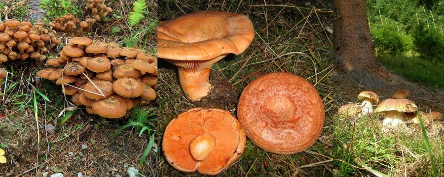 ciuperci roscove