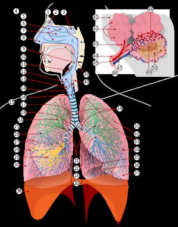 cum respiră inelul uman