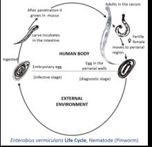 enterobiasis definition