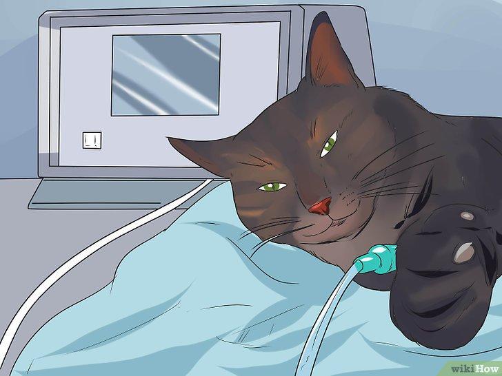 oxiuros gatos este posibil să scapi de negii genitali