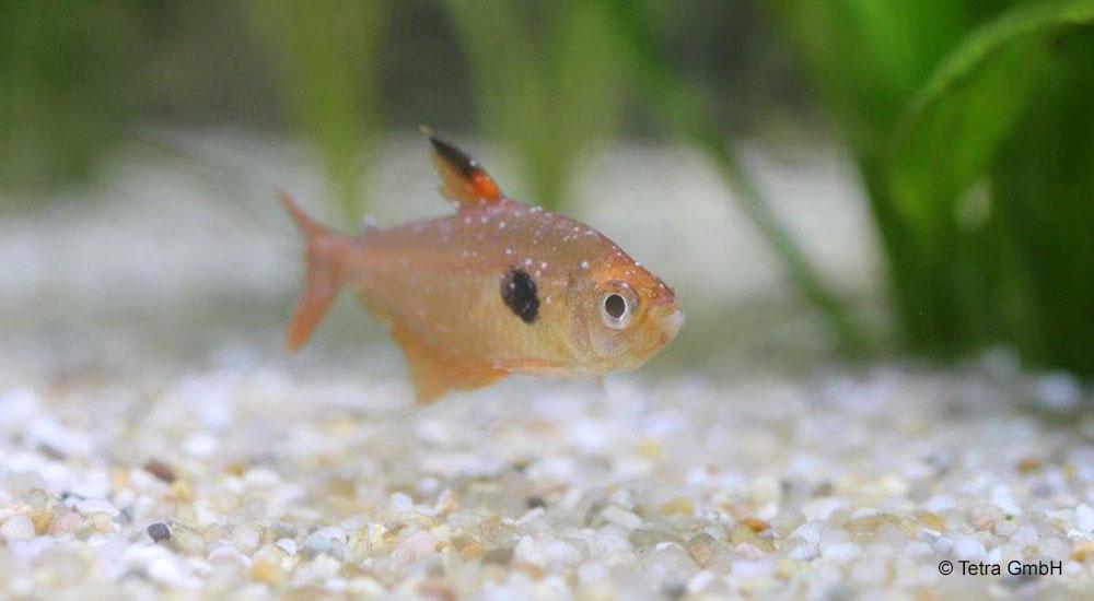 akvarijni ryby paraziti curatare colon forum