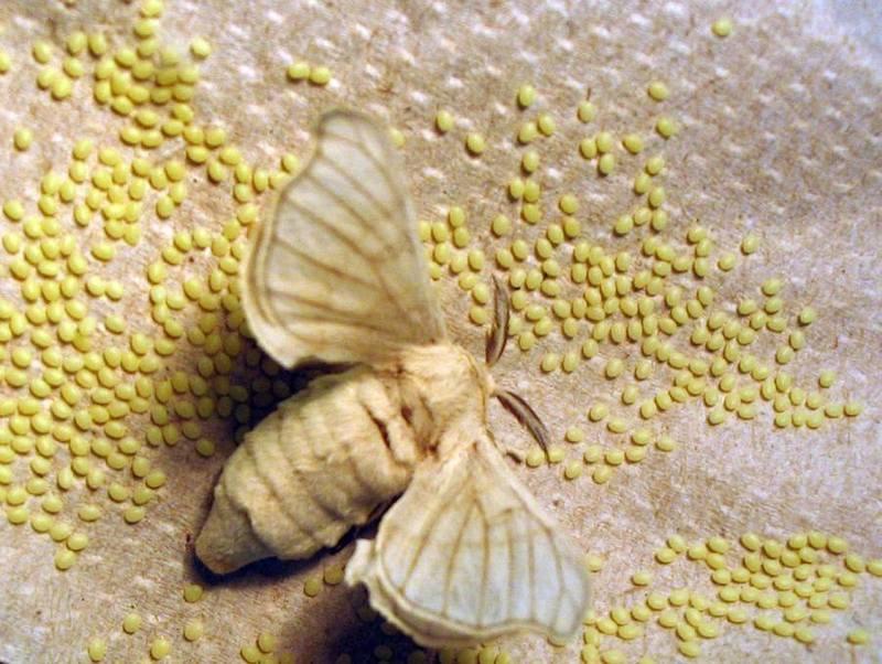 ouă de vierme cum arată dimensiunea intraductal papilloma in males