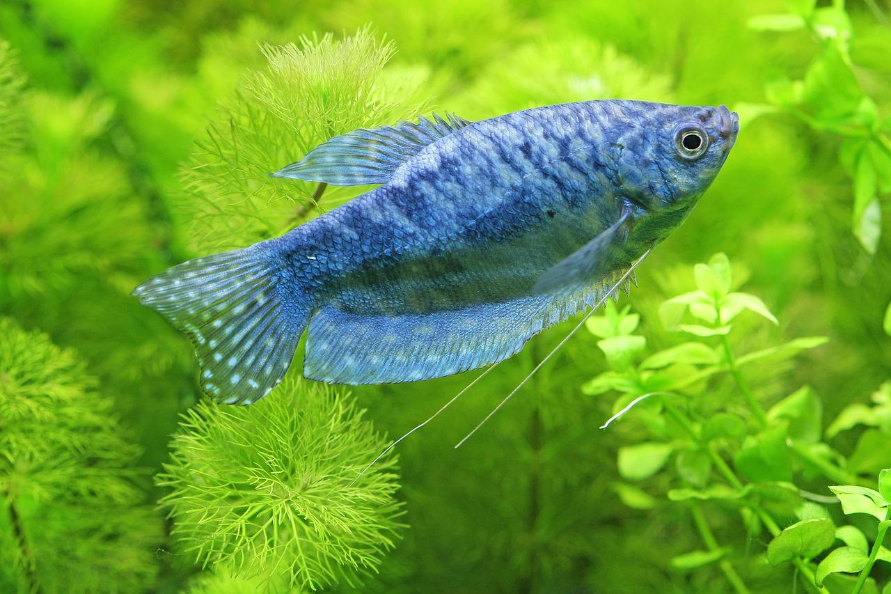 akvarijni ryby paraziti papilom într-un tratament pentru pisici