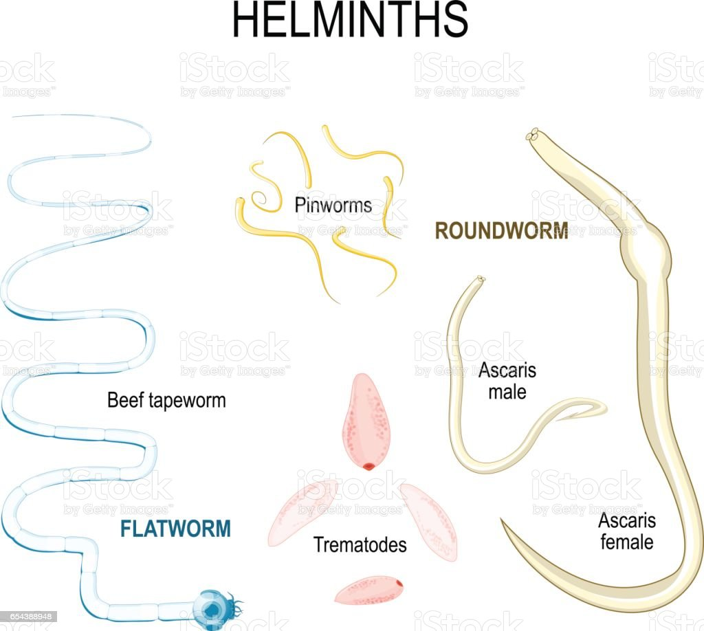 Platyhelminthes vierme fluke, Papilloma virus nell uomo quanto dura