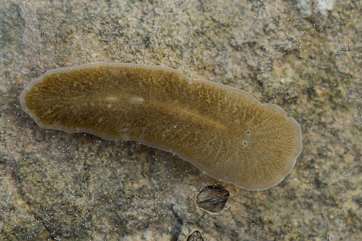 viermele este un parazit în organism