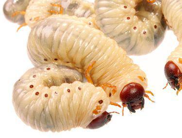 alergie la viermi rotunzi warts on hands palms