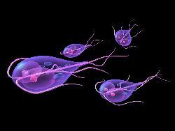 Parazitozele intestinale: giardioza si ascaridioza Alimentare cu apă pentru giardia