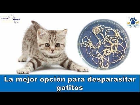 Oxiuros en gatos. Meu cu letra