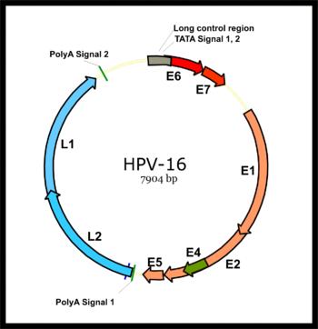 papillomaviridae genome giardiaza pulmonară