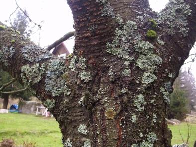 Parazit na stromech.