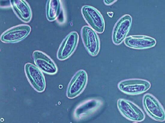 un specialist în boli infecțioase tratează viermii