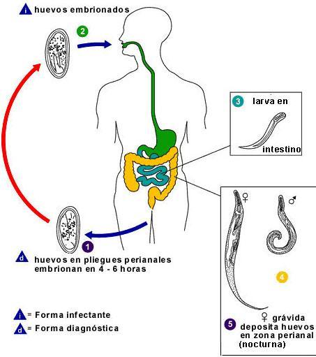 enterobiasis jelentese