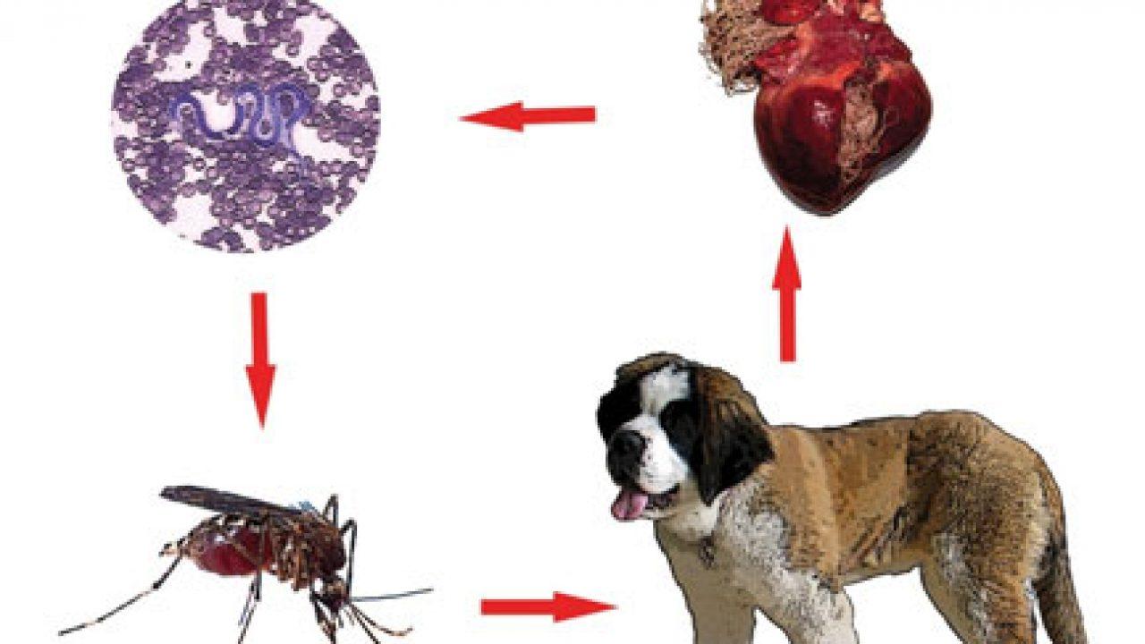 diagnostico de oxyuris equi o clasă de viermi