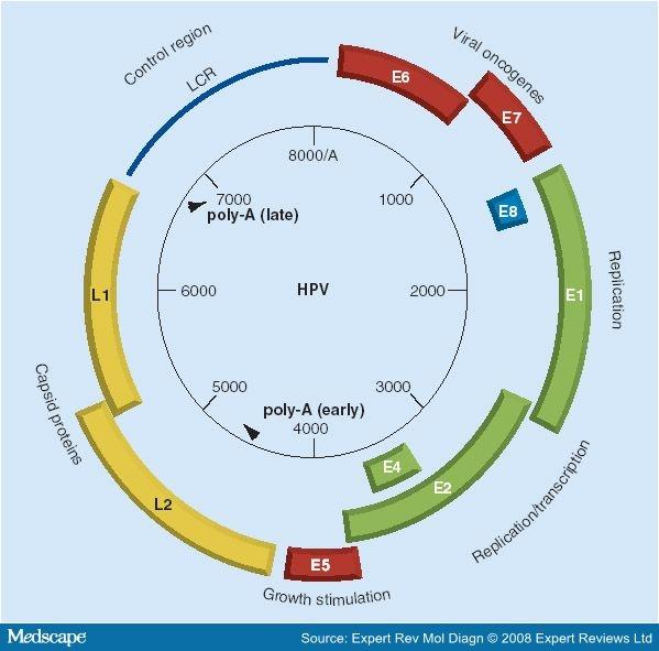 Papilloma virus genoma 42 - Papillomavirus genome