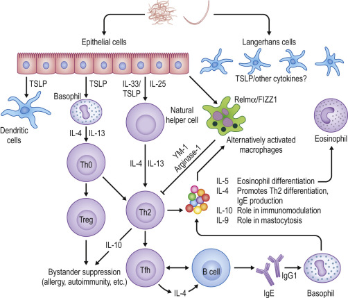 helminth and immune response
