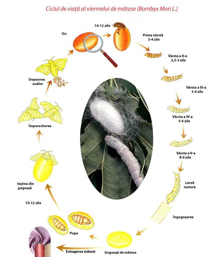 Ciclul dezvoltării trematodului și a viermilor, Viermele de gălbează