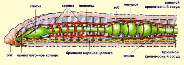 bacterii multe in urina regim de tratament cu papilomavirus uman