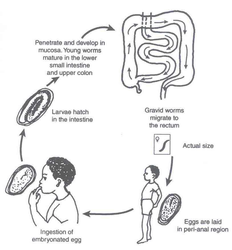 obat enterobiasis eliminarea pruritului negilor genitali