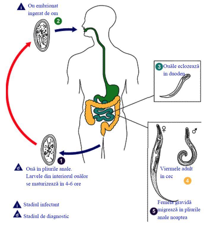 simptome de helmint la oameni